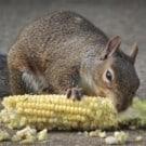 squirrel-250