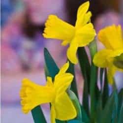 daffodils-250