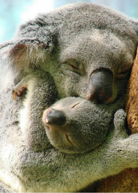 koala-hugs