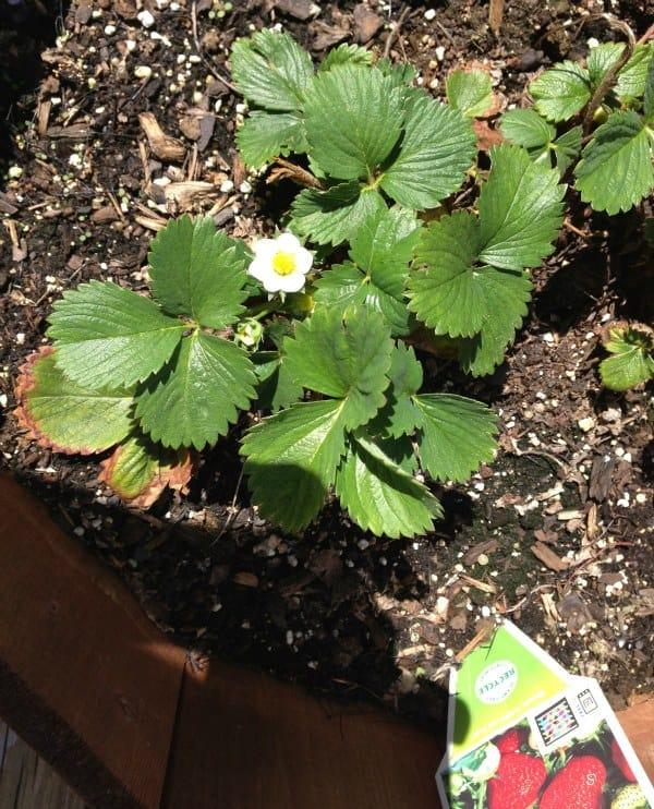 Strawberry Plant - 5/2/2013