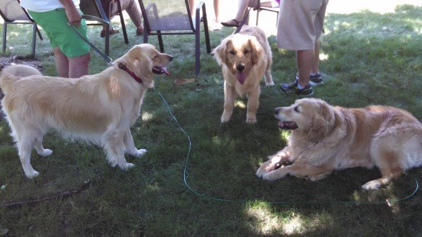 Goldens galore!