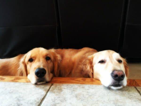 Duke & Einstein hanging out   browneyedbaker.com