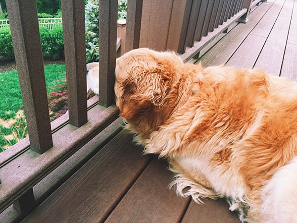 Einstein enjoying the deck | browneyedbaker.com
