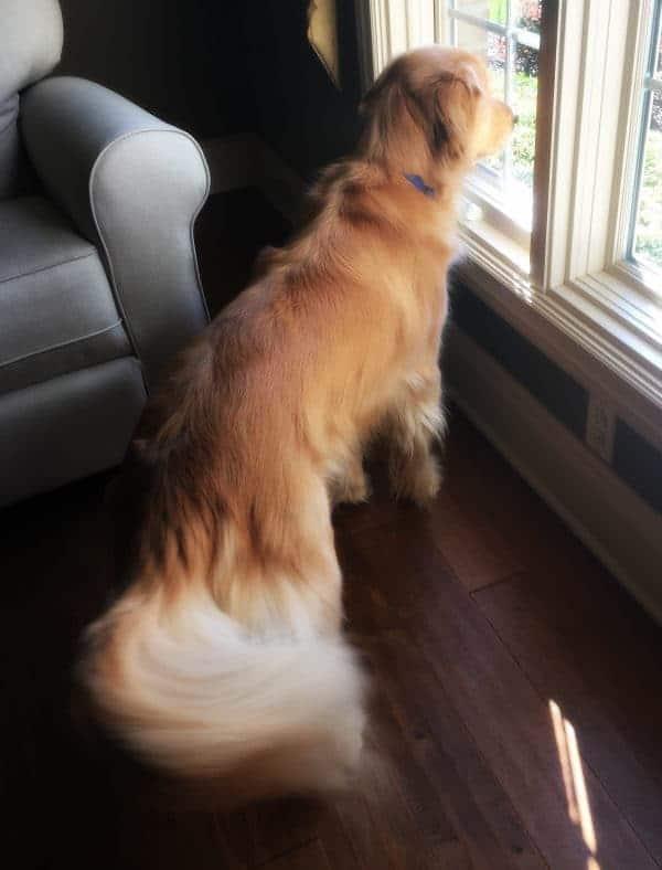 Duke keeping an eye on the neighborhood