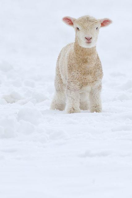 Fleece as white as snow...
