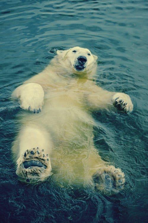 polar-bear-floating