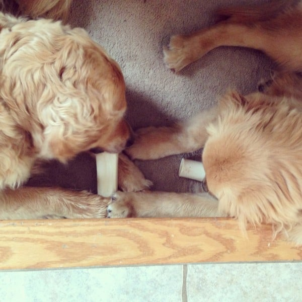 Einstein and Duke chewing rawhides together