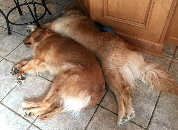 Duke and Einstein - Snuggle buddies