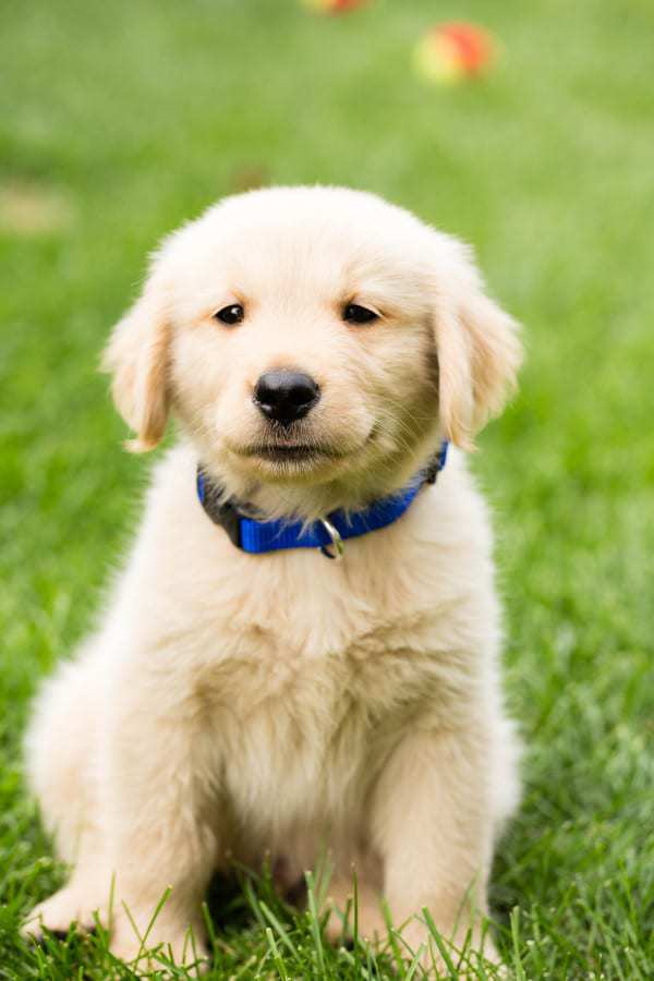 Duke as a brand new puppy!