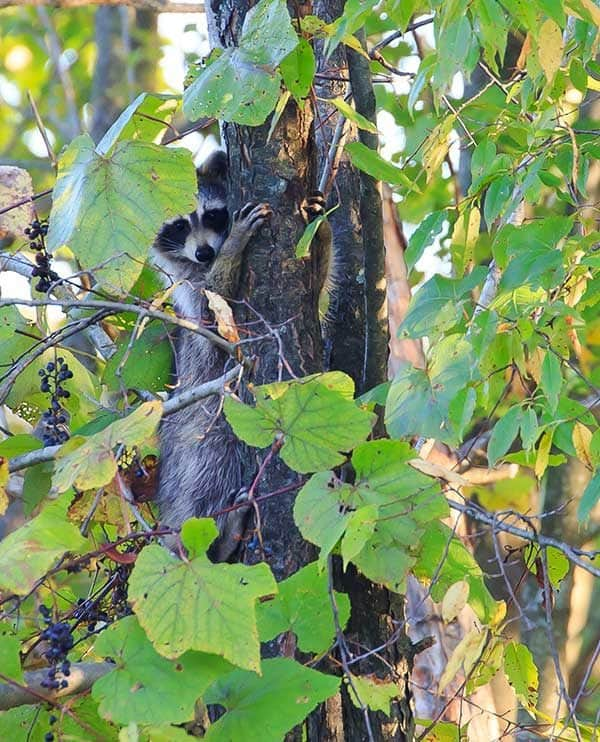 Raccoon!!!