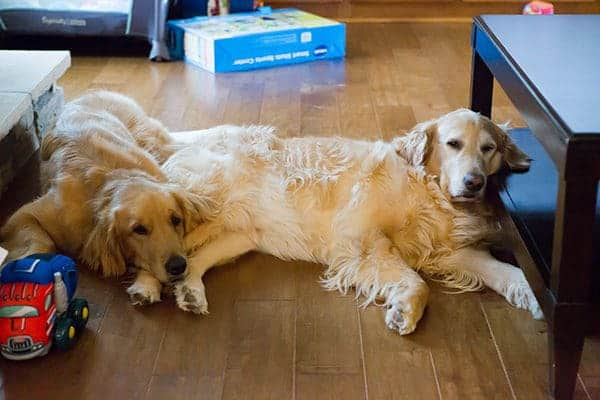 Duke and Einstein trying to recover from Joseph's birthday party | browneyedbaker.com