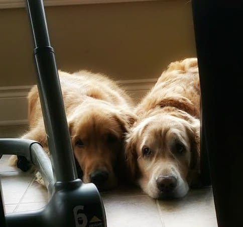 Duke and Einstein waiting for food to fall from the highchair!