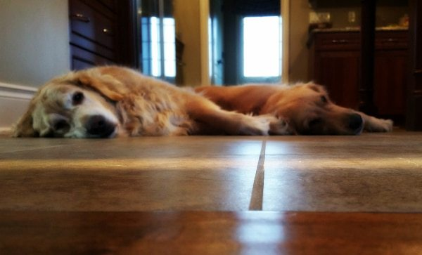 Such lazy Golden Retrievers!