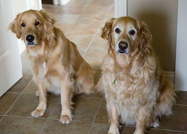 Duke & Einstein sitting at attention.
